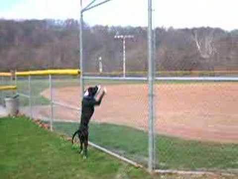 Pitbull Jumps Fence