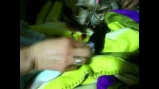Yorkshire Terrier Pariendo