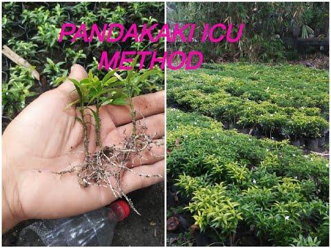 How to  Propagate | Plant Pandakaki | ICU Method | Paano Magparami ng Pandakaki