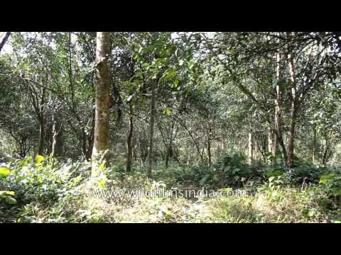 Rubber and other horticulture tree species: Hortoki organic village in Mizoram
