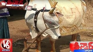 Nizamabad Cow Listening Devotional Songs   Teenmaar News   V6 News