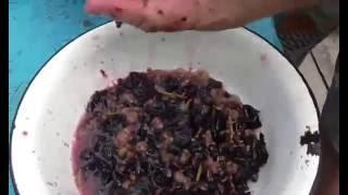 Как сделать домашнее вино из винограда.  Закваска. Вино Изабелла.(1)