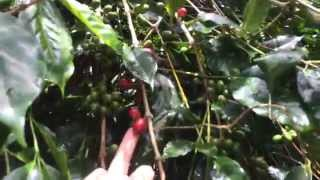 Green Bean Arabica Specialty Coffee Typical Farm in Indonesia