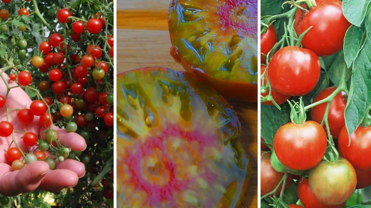 100 Remarquable Conseils Variété De Tomate Facile A Cultiver