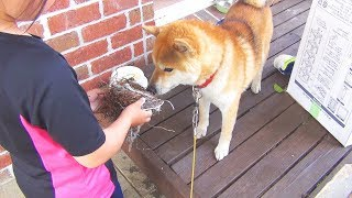柴犬タロウと家族の日記。 謎の鳥の巣をクンクンする。 Shibainu #柴犬.