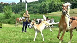 Austrian horses    Haflinger