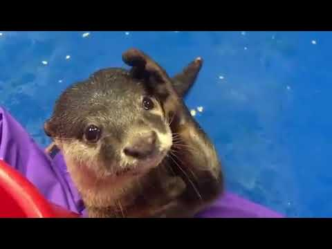 Otter wants to be pet