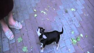 собака которая считает