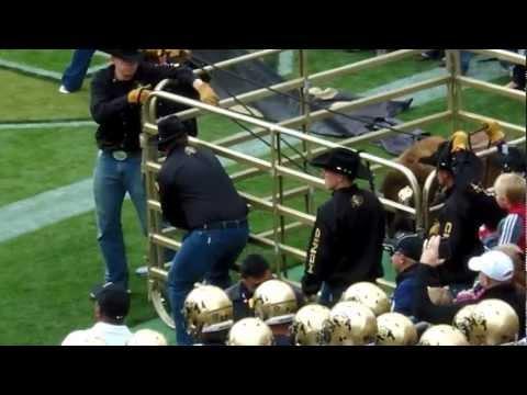 Ralphie the Buffalo running at CU Football Game vs Stanford 03NOV2012 (1).MP4