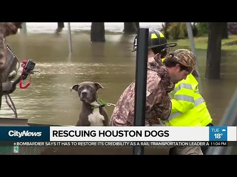 Toronto dog rescue helping pets abandoned due to Hurricane Harvey