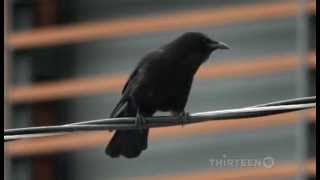 Crows : Documentary on The Intelligent World of Crows (Full Documentary) thumbnail