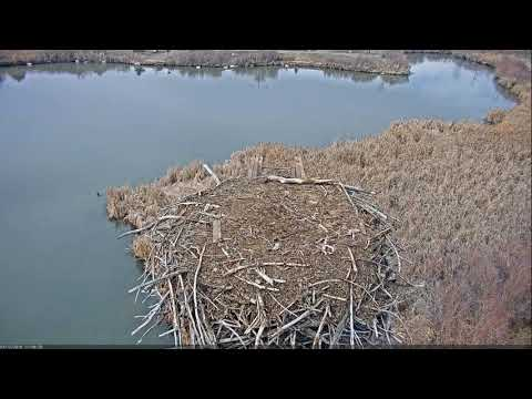 2019 03 12 Canada Geese explore possible nesting site | Boulder County Osprey Cam