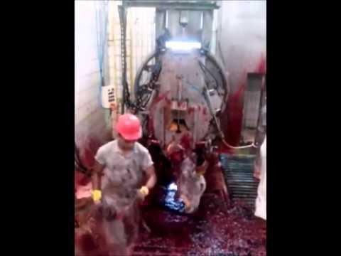 Wajib Tau ! Proses nyembelihan sapi yang sangat kejam dan sadis
