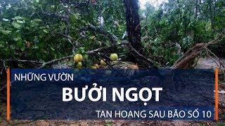 Những vườn bưởi ngọt tan hoang sau bão số 10 | VTC1