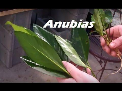 Beginner Plant- Anubias Minima, Anubias Congensis- 3rd 125 Gallon tank