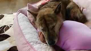 北海道犬 虎柄 なな虎 1分20秒すぎから少しイビキ.