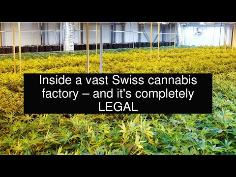 Inside a vast Swiss cannabis factory – and it's completely LEGAL