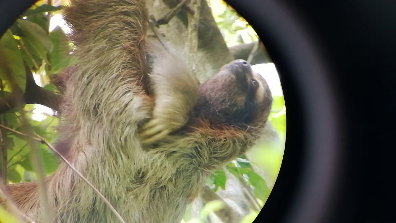 Sloth At Manuel Antonio National Park Costa Rica Youtube