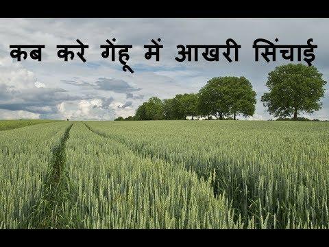 गेंहू में क्या है आखरी सिंचाई का महत्व॥ Importance of last irrigation in wheat