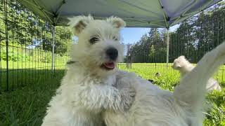 West Highland White Terrier Bailey's Puppies Outside Again