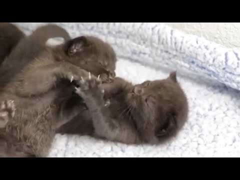 Kittens play fighting and meowing