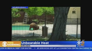 Bear Swims Laps In Arcadia Pool To Beat The Heat