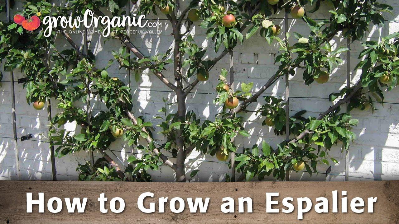 How To Grow An Espalier Youtube