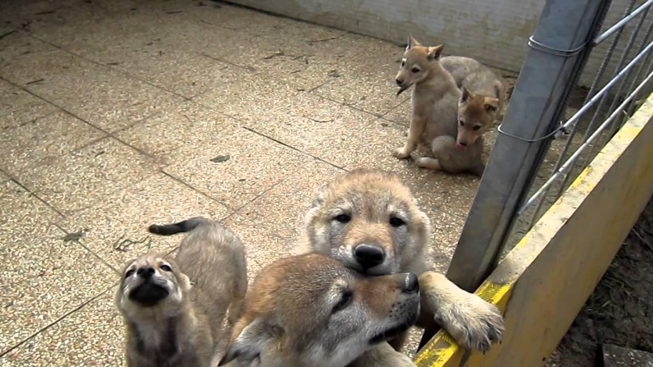 Preferenza Cuccioli di lupo cecoslovacco Obra Arimminum x Blizzard Amant Gris  ID08