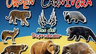 Orden Carnivora Es un orden, compuesto de 7 mamíferos terrestres, q...