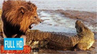 【動物 戦い 】野生動物-野生動物 戦い-ライオン対ワニ 2016!!! Playlis...