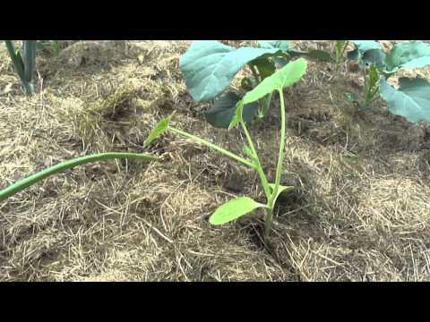 Weed Free Vegetable Garden Gardenfork Funnycat Tv