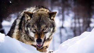 🐺ВОЛЧЬЯ верность! Волки не забывают добро! Случай в тайге