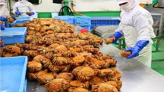 Awesome Japan Hairy Crab Catching Deep Sea - Hairy Crab Processing