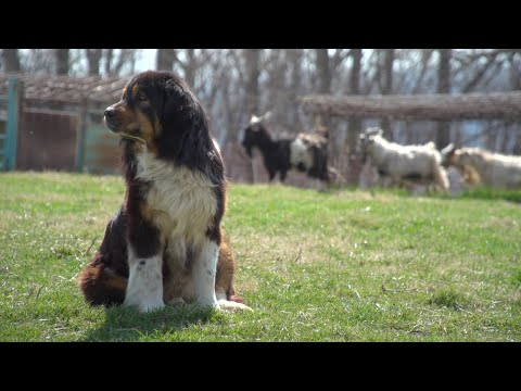 Working Dogs: Livestock Guardian Dogs