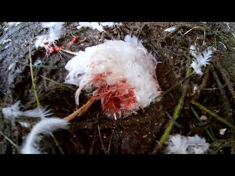 Домик в деревне 24.... соседские собаки загрызли кур. Начало серьезного конфликта