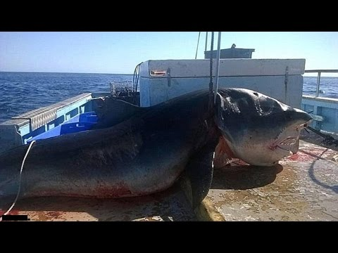 Top 5 Biggest Great White Sharks Ever Caught