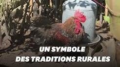 Le coq Maurice, symbole de la ruralité, est mort