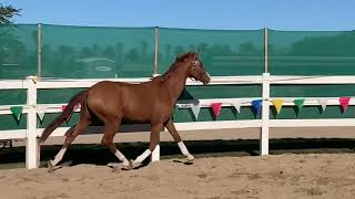 Major Marco PF * coming 3 yrs old