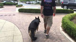 Obedience = Dog Safety | Off Leash Heeling With Distractions! | Atlanta Dog Trainer