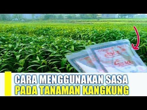 Cara Penggunaan Sasa Pada Tanaman Kangkung Darat| Budidaya Kangkung