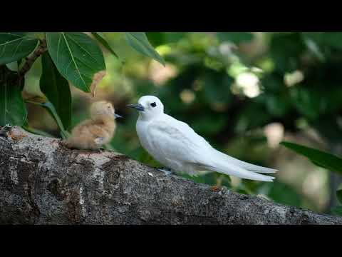White Tern Chick with Mama