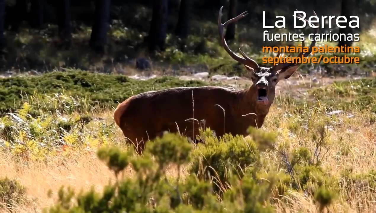 Berrea en la monta a palentina la berrea del ciervo en fuentes carrionas by casa rural monta a - Casas rurales montana palentina ...