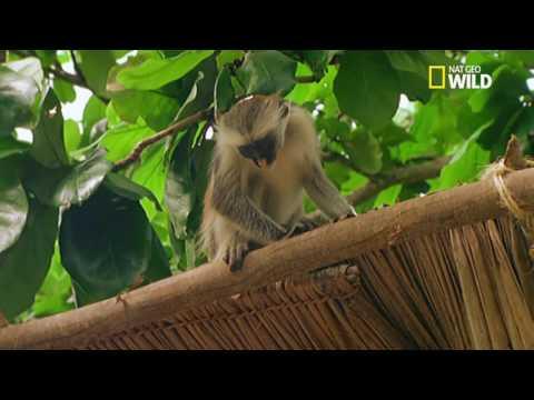 le singe voleur de charbon