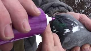 Смогут ли переболевшие голуби летать, как и прежде???