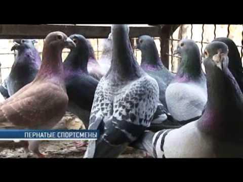 Почтовые голуби — надёжное средство связи