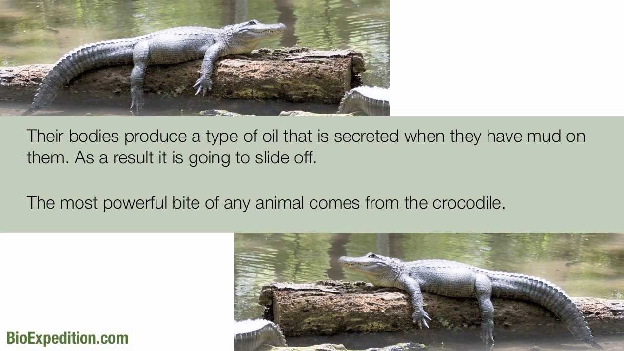 Information about Crocodiles - YouTube