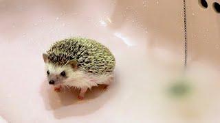 ハリネズミのお風呂の入れ方 こねこの入浴