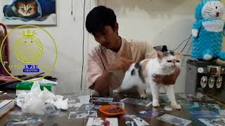 KUCING KERACUNAN . dan cara menangani kucing keracunan