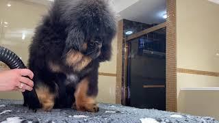 Tibetan mastiff puppy. Grooming