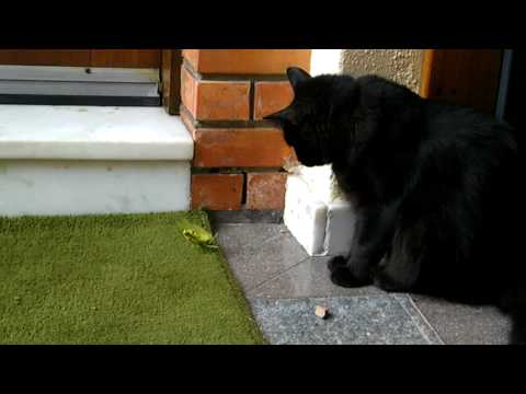 download Cat gets attacked by a praying mantis !